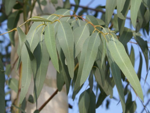 Eucalyptus rapanui