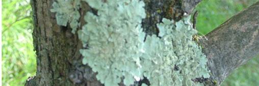 Faut il enlever mousses et lichens des arbres fruitiers - Mousse sur les arbres ...