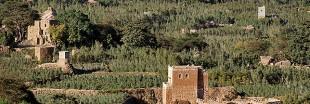 Le Khat : cette plante qui assoiffe tant le Yémen