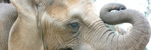 6 défenses d'éléphant maquillées saisies à Roissy