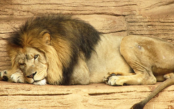 lion-animal-sauvage-chasse-close