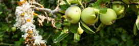 Faut-il enlever mousses et lichens des arbres fruitiers?