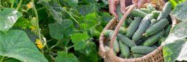 Trop de fruits et légumes cette année! Que faire du surplus de récolte?