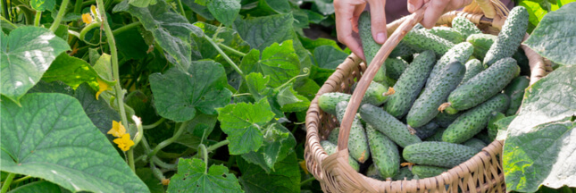 Trop de fruits et légumes cette année ! Que faire du surplus de récolte ?