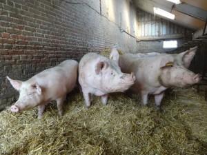 3 cochons