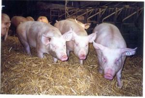 4 cochons