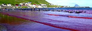 Taiji, îles Féroé : massacres de dauphins et traditions