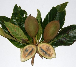 Arbuste Jagua