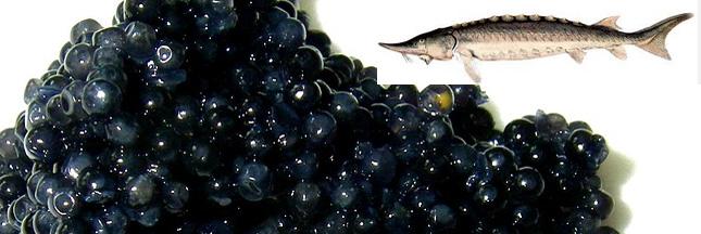 Le caviar sauvage de retour en France !
