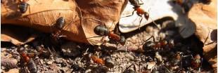 Insolite : des fourmis pour restaurer un écosystème menacé ?
