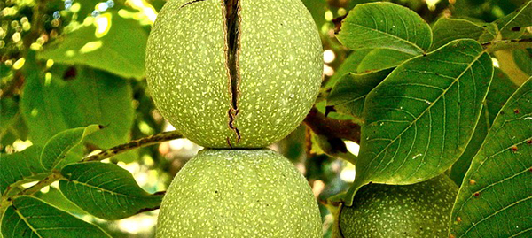 noix-fruit-sec-01