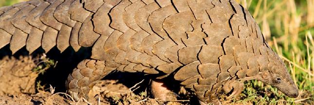 Le pangolin, un animal victime de sa réputation