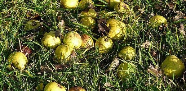 recolte-des-poires-verger-conservation-fruits-01