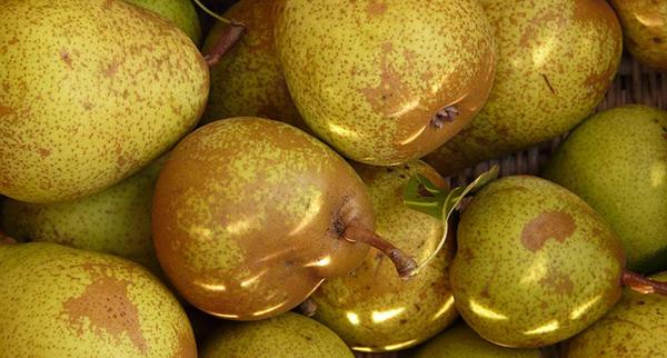 recolte-des-poires-verger-conservation-fruits-02 récolter les poires