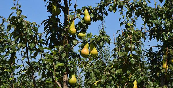 recolte-des-poires-verger-conservation-fruits-03
