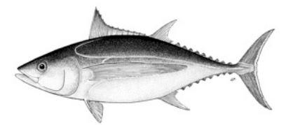 thon-albacore