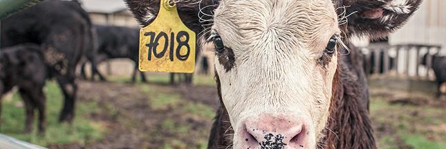 Ferme des 1000 vaches, 1000 veaux: l'opposition à l'élevage intensif s'organise