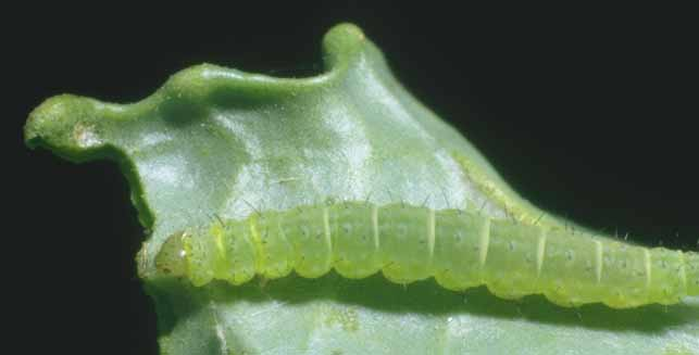 papillon ogm Larve Plutella xylostella