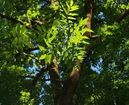 Un champignon d 39 asie tue les for ts europ ennes - Arbres a feuilles caduques ...
