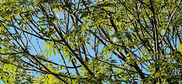 feuilles-frene-commun-cendres-fraxinus-excelsior-arbre-feuilles-caduques-bois-foret-03