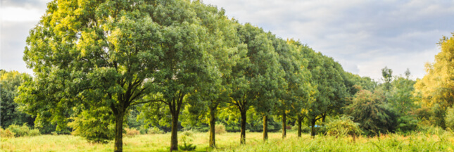 chalarose frênes