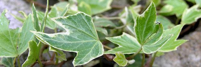 lierre-plante-bouture-marcottage-01