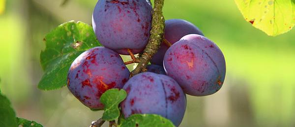 prunes-fruits-arbre-fruitier