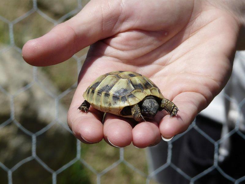 Plan de sauvegarde de la tortue d 39 hermann dans le var - Images tortue ...