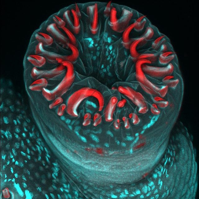 Photos au microscope Karin_Panser_catepillar-proleg