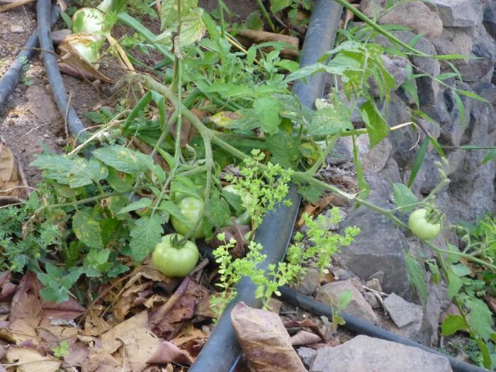 salinisation Tomates Cap Vert