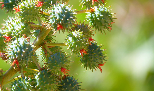 huile-de-ricin-fruits-de-castor-arbre-plante-graines-03