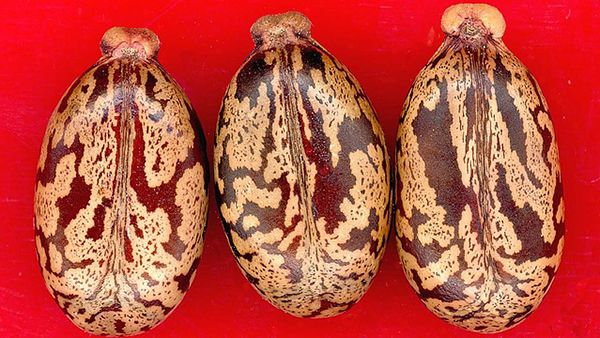 Ne consommez que l'huile de ricin et pas les graines: elles contiennent de la ricine, un poison.