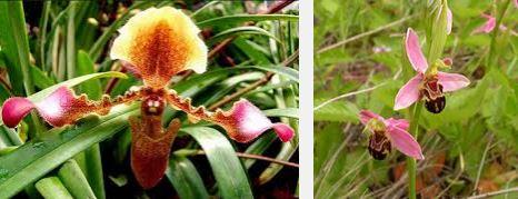 orchidées-en-danger