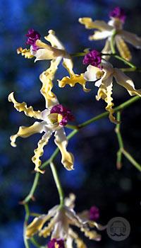 orchidee-wild-banana