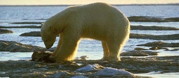 ours-polaire-arctique-01