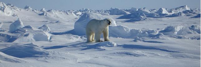 ours-polaire-arctique-02