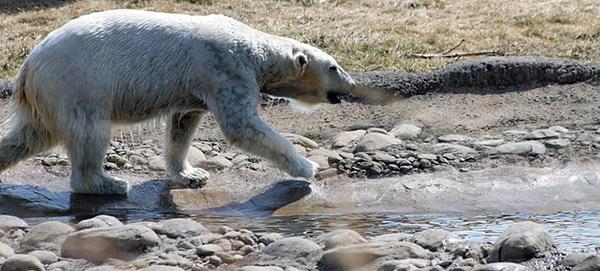 ours-polaire-arctique-03