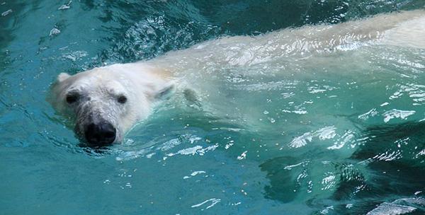 ours-polaire-arctique-04