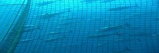 Quotas de pêche au thon rouge, hausse prématurée