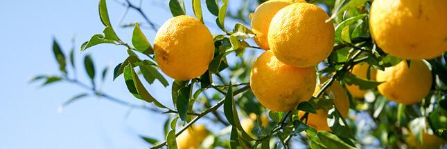 Le citron yuzu, la surprise santé et cuisine du Japon