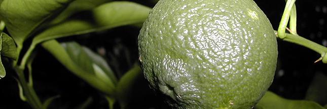 yuzu-citrus-junos-agrume-00-ban
