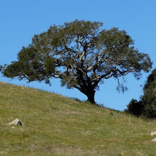 Chêne vert de Californie