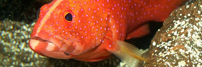 Surpêche - Petit poisson deviendra...  plus petit !