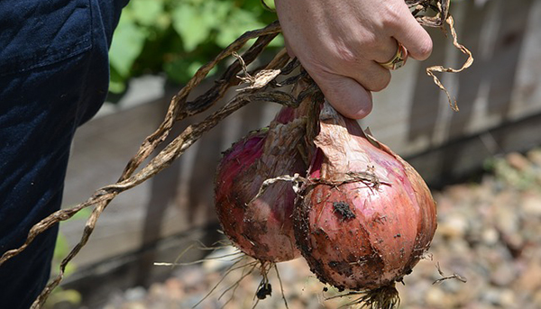 potager-legumes-jardin-bio-jardinage-conseils-parcelle-terrain-01