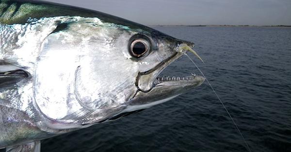 thon-poisson-taille-surpeche-peche-intensive-01
