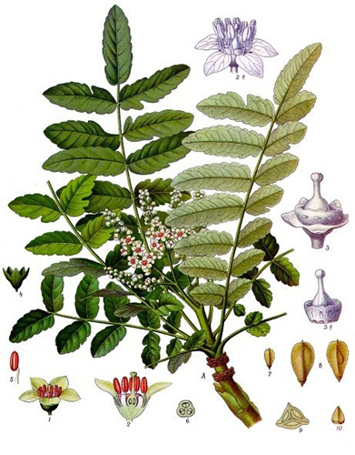 Boswellia-sacra-arbre-a-encens-plante-medicinale-01