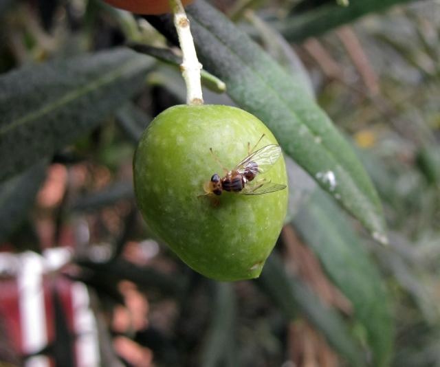 Mouche de l'olive