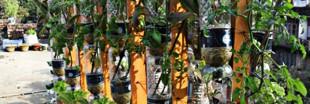 L'aquaponie:une alternative à l'agriculture conventionnelle?