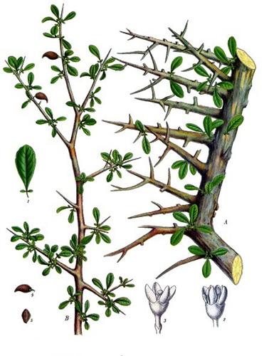 arbre-a-myrrhe