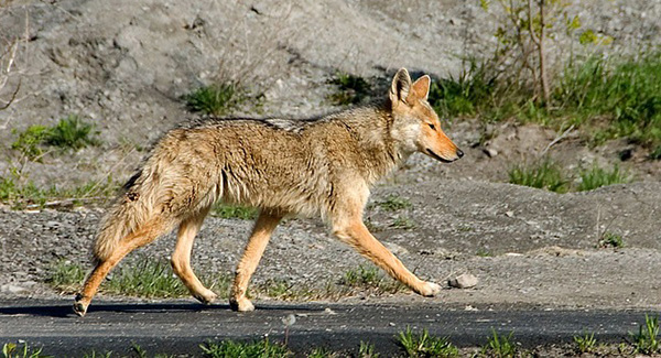 coyote-canis-latrans-fausse-fourrure-authentique-02